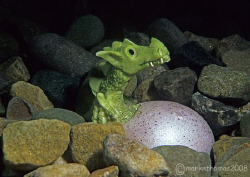 Dragon hatching on St David's Day.